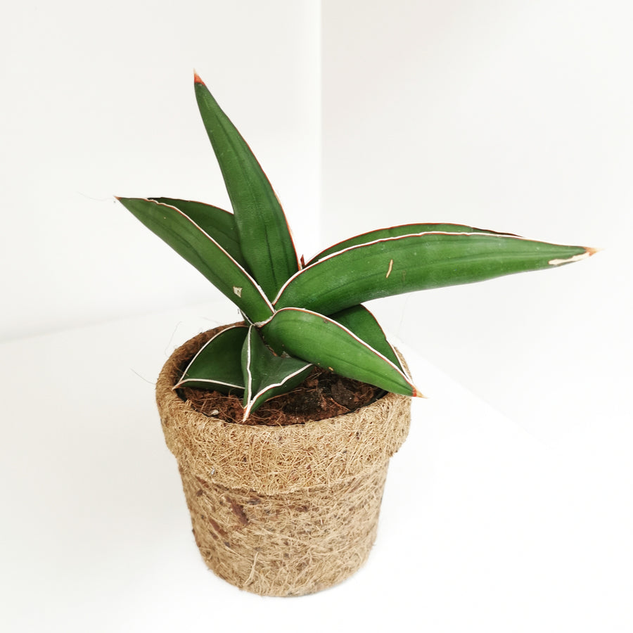 Kokodama pot with Sansevieria ehrenbergii Samurai - Cambridge Bee