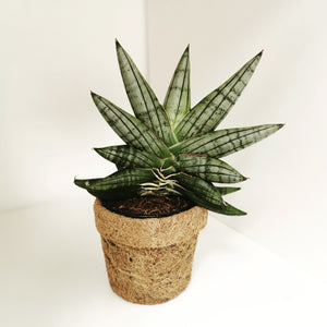Kokodama pot with Sansevieria Cylindrica - Cambridge Bee
