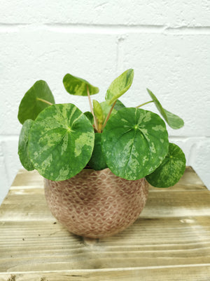 Variegated Pilea peperomioides Mojito - Cambridge Bee