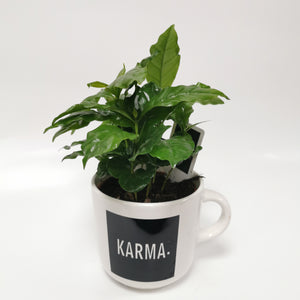 Coffea Arabica in ceramic mug - Cambridge Bee