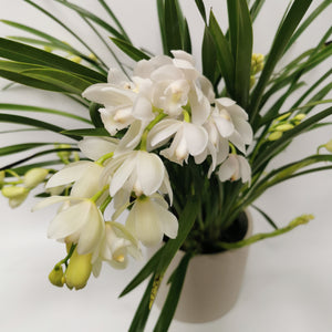 Cymbidium Orchid ice Dance - Cambridge Bee