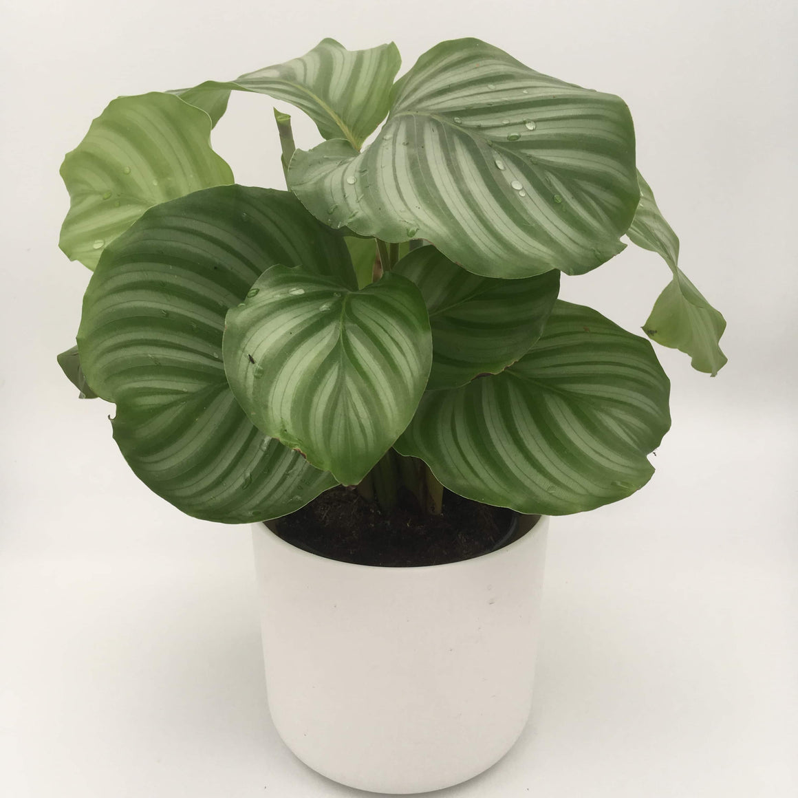 Calathea Orbifolia - Cambridge Bee