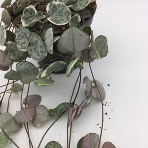 Ceropegia Woodii Variegated 'String of Hearts' Marlies - Cambridge Bee