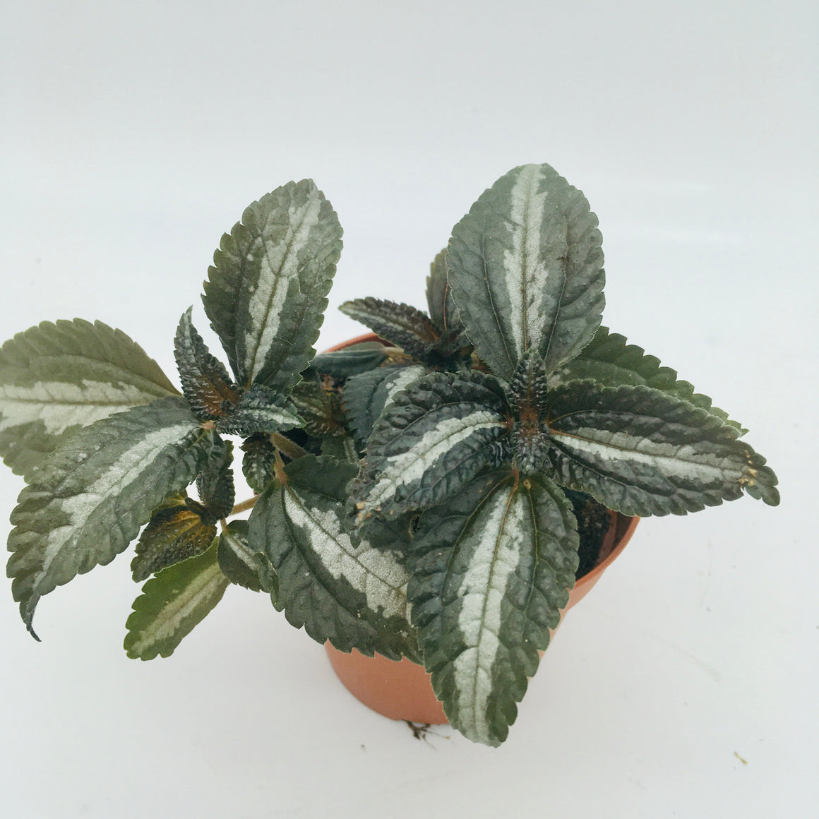 Pilea Spruceana Silver Tree - Cambridge Bee