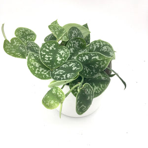 Scindapsus Pictus 'Argyraeus' Satin Pothos - Cambridge Bee
