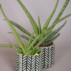 Aloe Vera Plant In Ceramic - Cambridge Bee