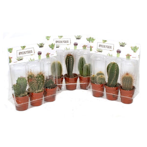 Cactus plants set of 3 - Cambridge Bee