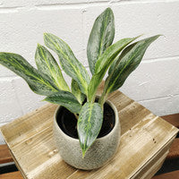 Aglaonema Silver Bay - Chinese evergreen plant - Cambridge Bee