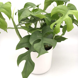 Philodendron Rhaphidophora Tetrasperma plant - Cambridge Bee