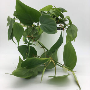 Philodendron scandens Heart Leaf vine - Cambridge Bee