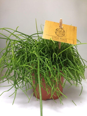 Rhipsalis Cassutha Mistletoe Cactus house plant - Cambridge Bee