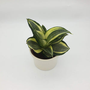 Sansevieria Golden Hahnii Birds Nest - Cambridge Bee