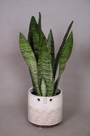 Sansevieria Zeylanica with ceramic planter - Cambridge Bee
