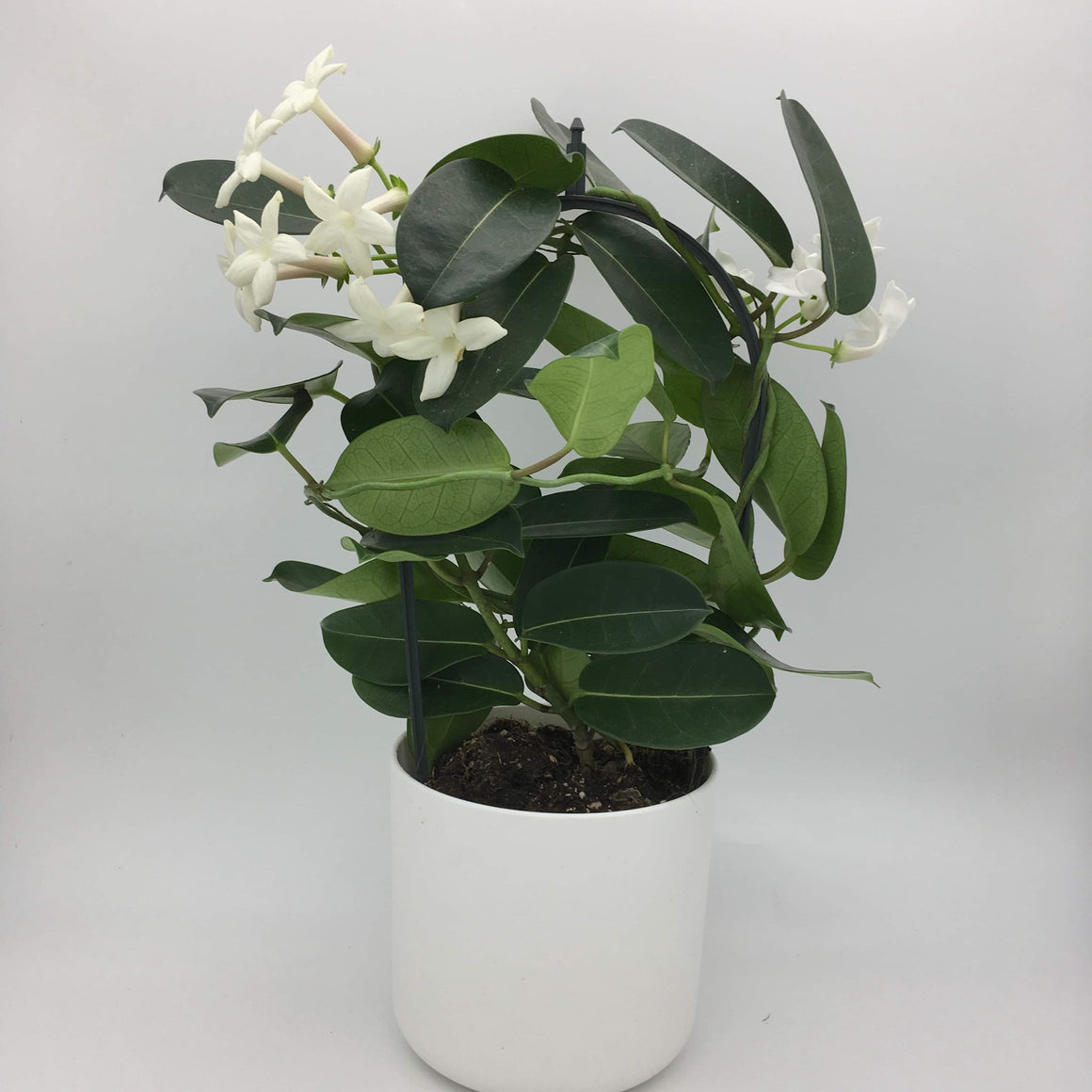 Stephanotis Floribunda - Cambridge Bee