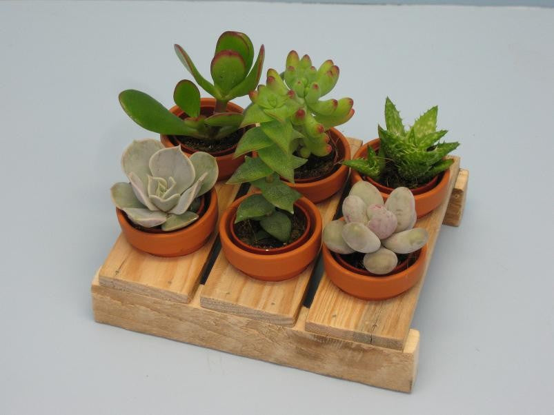 Set of 6 mini succulent plants on a palette - Cambridge Bee