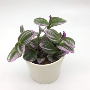 Tradescantia Nanouk Lilac - Cambridge Bee