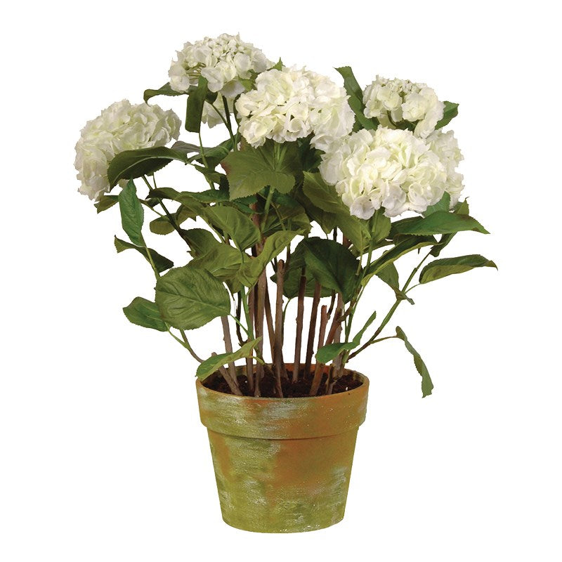 White Hydrangea Plants in Garden Pot