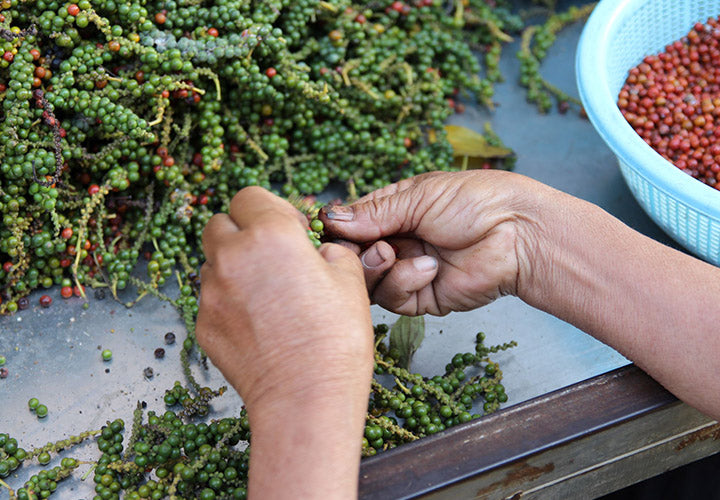 Fresh peppercorn berries being separated in Kampot Cambodia.