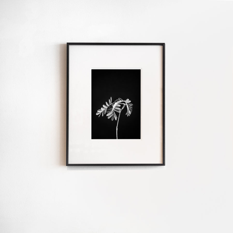 Sensitive Plant Photographic Fine Art Print