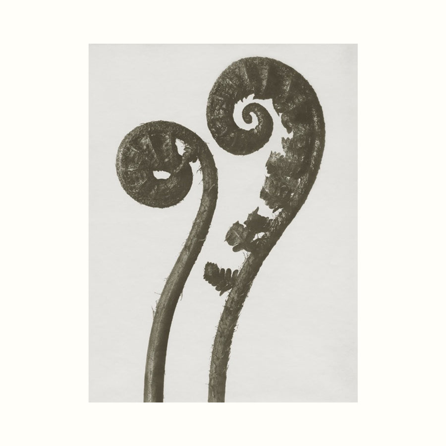 Karl Blossfeldt Dryopteris Filix Photographic Art Print