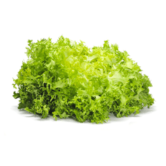 ESCAROLE LETTUCE FROM USA