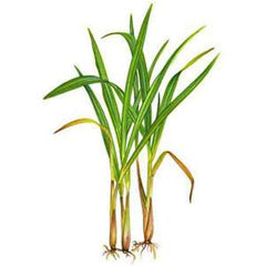 LEMONGRASS FROM USA
