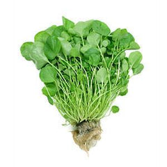 WATERCRESS FROM MEXICO