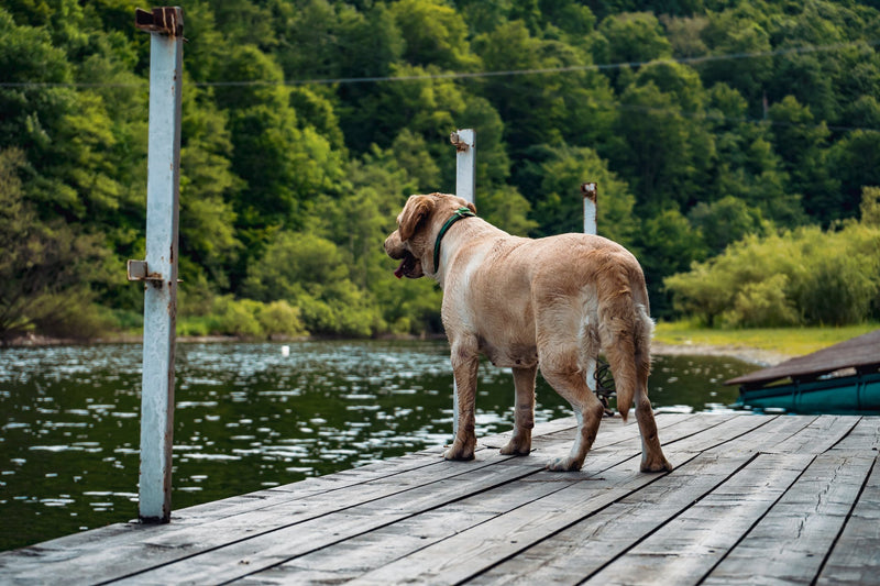 Algae Killing Dogs in Fresh Water Lakes