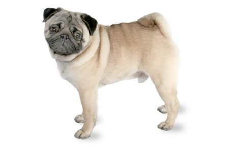 Pug in North Carolina tests positive for coronavirus, may be first for dog in U.S.