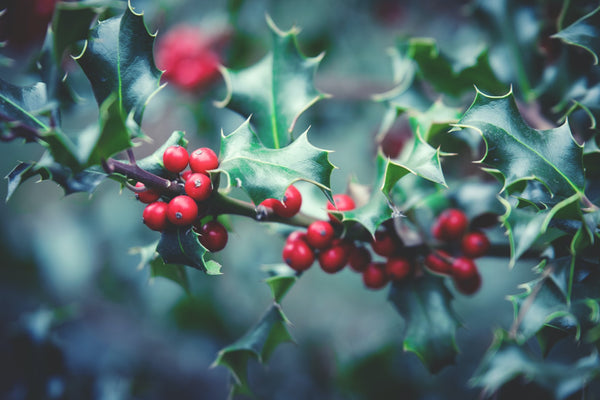 Holly is a perfect winter ornamental for your garden.