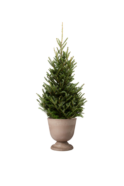 Urn planter with christmas tree seedling