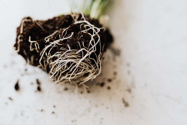 Closeup of plant root ball