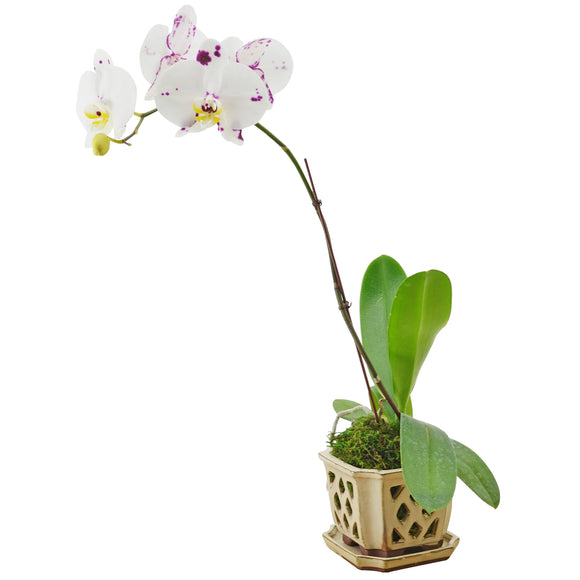 Square Orchid Planter