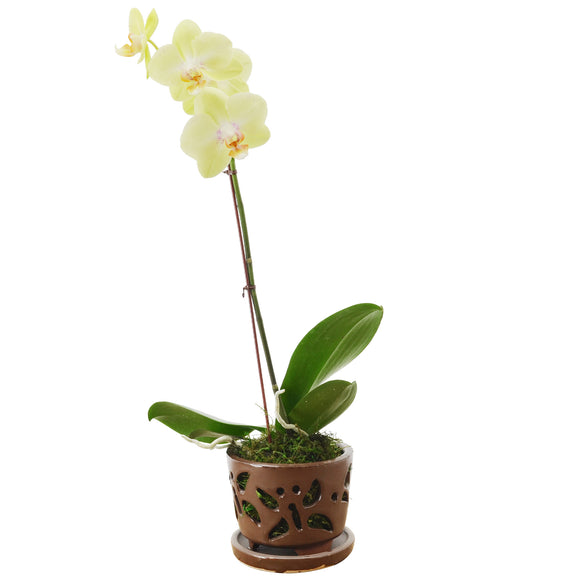 Butterfly Orchid Planter