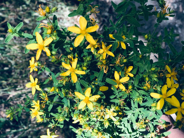 A Midsummer's Day Tradition: Harvesting St. John's Wort
