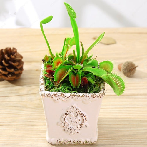 Potted Insectivorous Plant