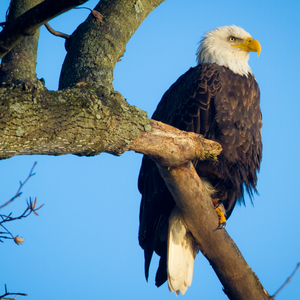 Bald Eagle In Tree Photographic Coaster