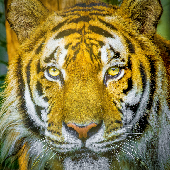 Tiger Portrait Photographic Coaster