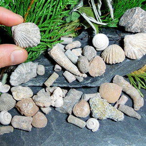 Fossil Assortments
