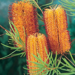 Yellow and red Banksia plant