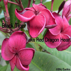 "Grafted Plumeria Cutting ""Black Tiger"""