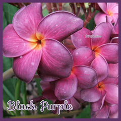 "Grafted Plumeria Cutting ""Black Purple"""