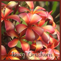 "Grafted Plumeria Cutting ""Dang Orachorn"""