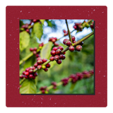 Coffee cherries holiday blend