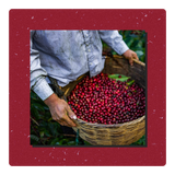Coffee cherries collected - holiday blend 2020