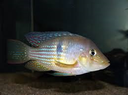 Geophagus Norte