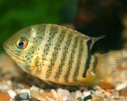 Green and Wild Severums