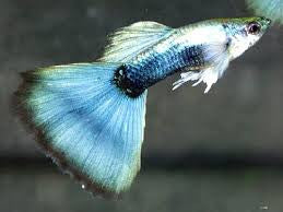 Metalic Blue Guppy