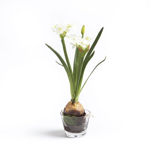Paperwhite, Glass Vase