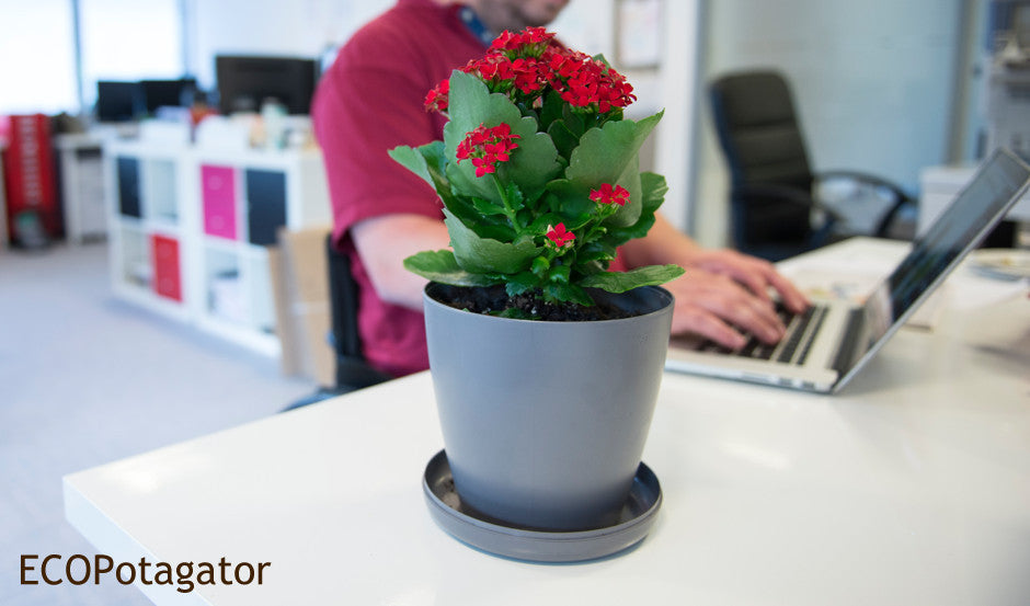 Grey Eco Potagator Pot in plant growth stage witha red succulent flower in an office setting.